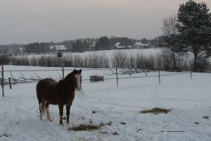 Kalle mumsar på sitt hö i den bleka januarisolen.